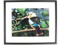 Australian Mallee Art – Australian Native Birds Framed Print - Blue-winged Kookaburra