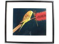 Australian Mallee Art – Australian Native Birds Framed Print - Budgerigar 1