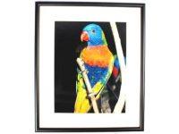 Australian Mallee Art – Australian Native Birds Framed Print - Rainbow Lorikeet
