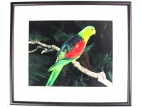Australian Mallee Art – Australian Native Birds Framed Print - Red-winged Parrot