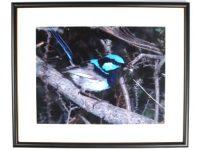 Australian Mallee Art – Australian Native Birds Framed Print - Superb Blue Wren (Male)