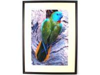 Australian Mallee Art – Australian Native Birds Framed Print - Turquoise Parrot 1