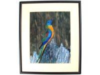 Australian Mallee Art – Australian Native Birds Framed Print - Turquoise Parrot 2