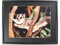 Australian Mallee Art – Australian Native Fauna Framed Print - Sugar Glider