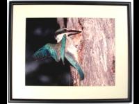 Australian Native Fauna Framed Print - Forest Kingfisher